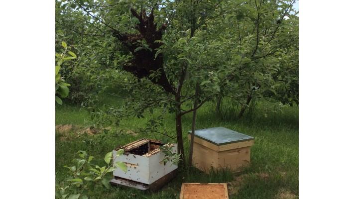 Division d'une ruche, conduite de l'essaimage