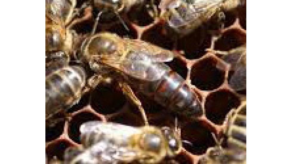 Régie de la ruche (théorie)